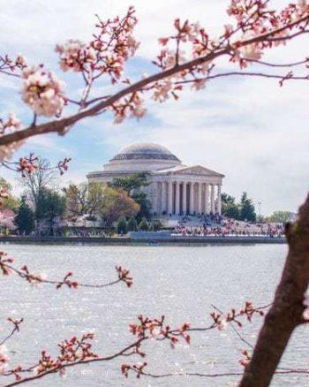 Washington DC Cherry Blossoms | The JavaCupcake Blog https://javacupcake.com