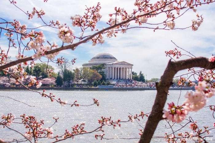 Washington DC Cherry Blossoms | The JavaCupcake Blog http://javacupcake.com
