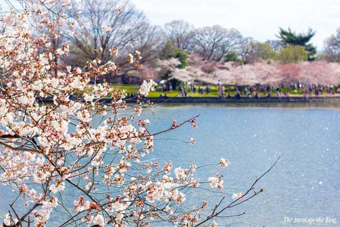 http://www.nationalcherryblossomfestival.org/about/bloom-watch/